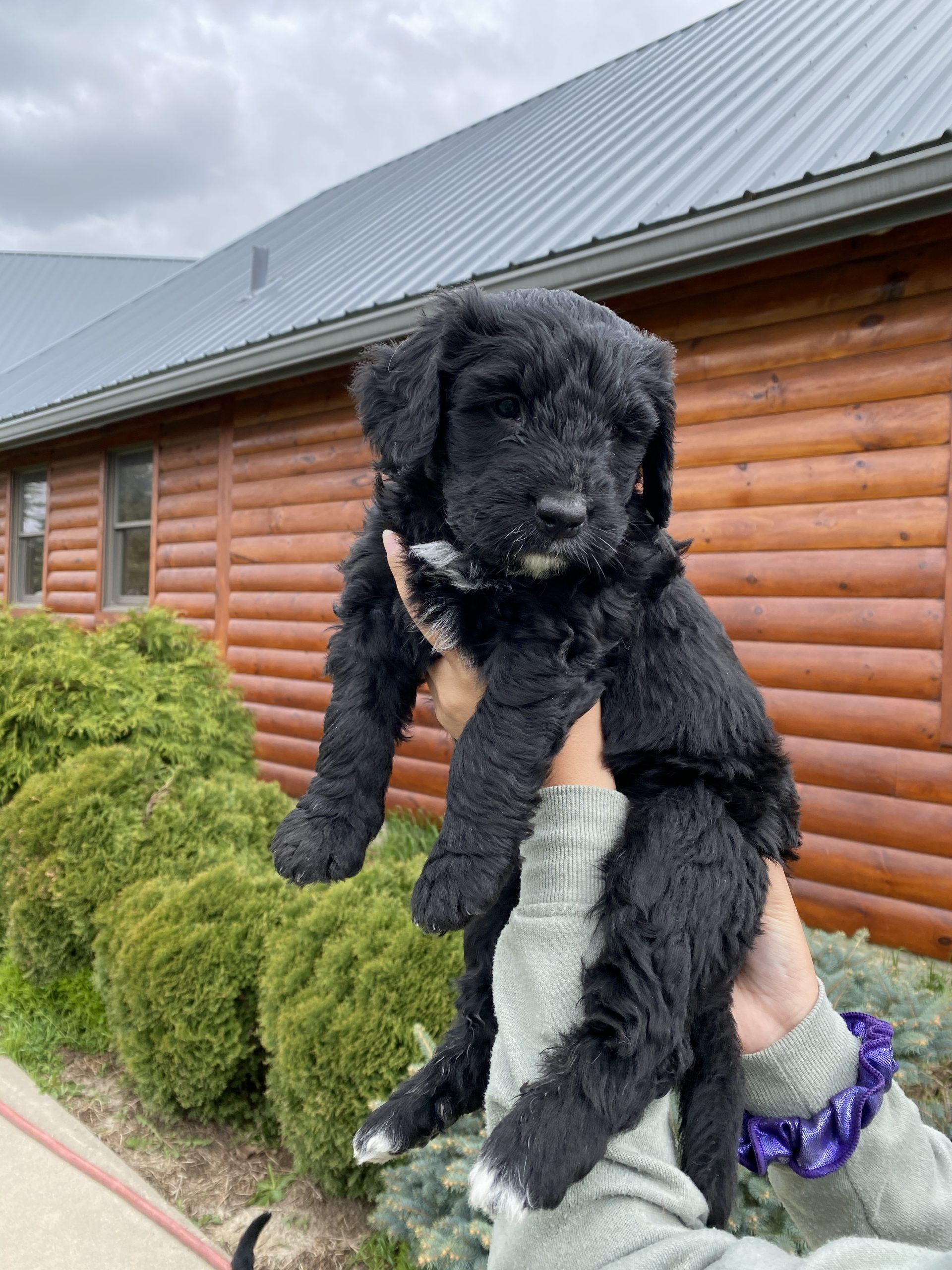 Orange Puppy - Bernese Water Dog male pup for sale in Long Grove, Iowa