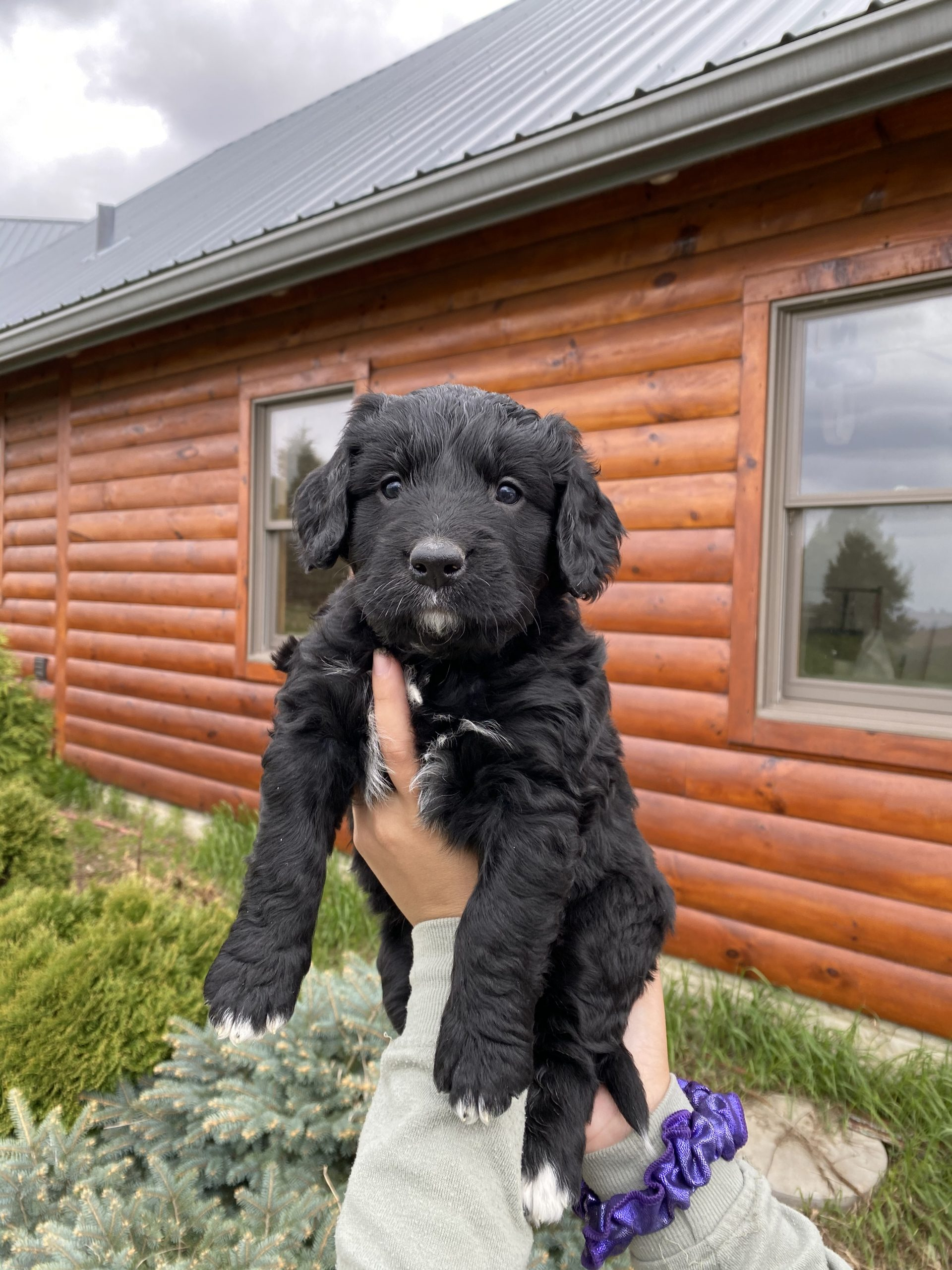 Blue Puppy - Bernese Water Dog male pupper for sale at Long Grove, Iowa