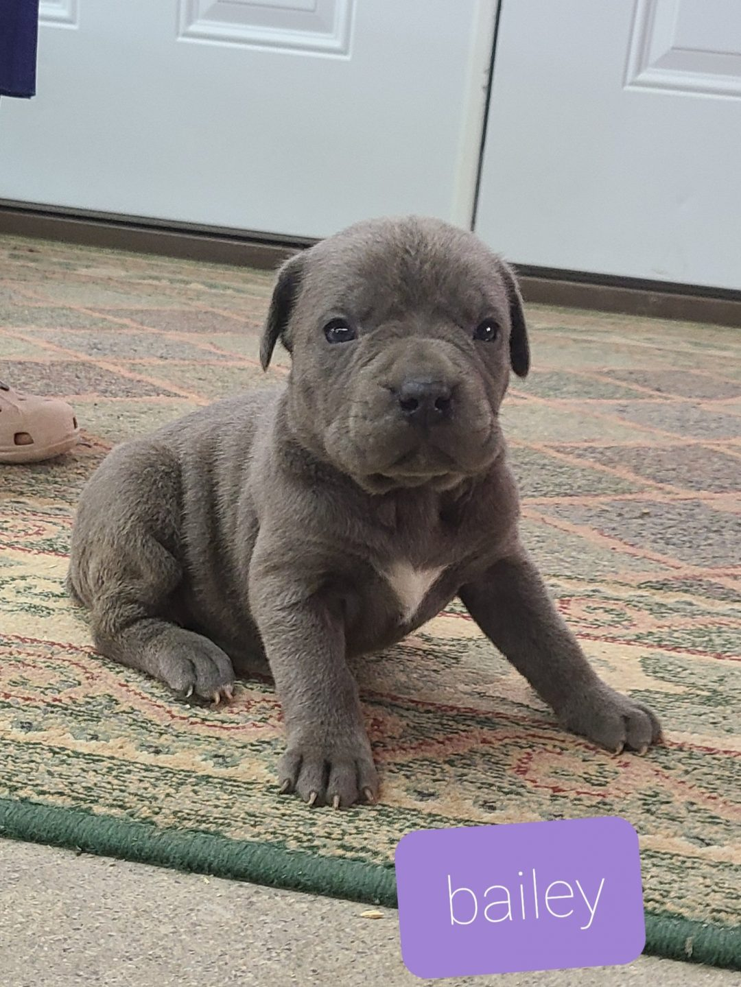 Bailey - ICCF Cane Corso female pup for sale at Grabill, Indiana