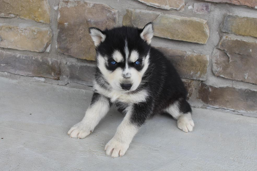 Prince - AKC Siberian Husky male puppy for sale near Spencerville, Indiana