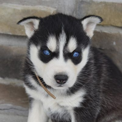Daisy - doggie AKC Siberian Husky female for sale at Spencerville, Indiana