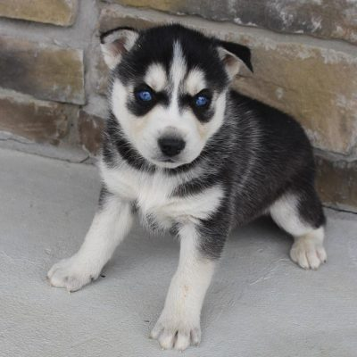 Jack - AKC Siberian Husky male puppie for sale in Spencerville, Indiana