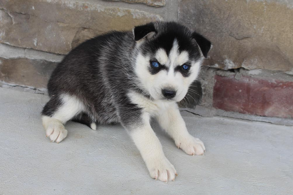 Jasper - AKC Siberian Husky male pup for sale at Spencerville, Indiana