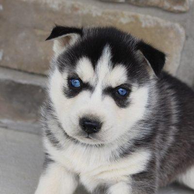 Jasper - AKC Siberian Husky male pup for sale at Spencerville, Indiana