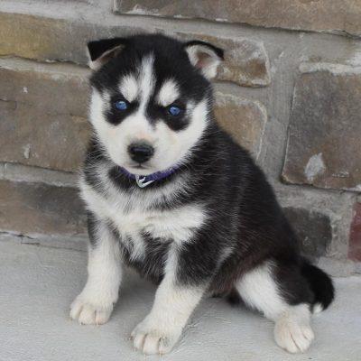 Dora - AKC Siberian Husky female puppy for sale in Spencerville, Indiana