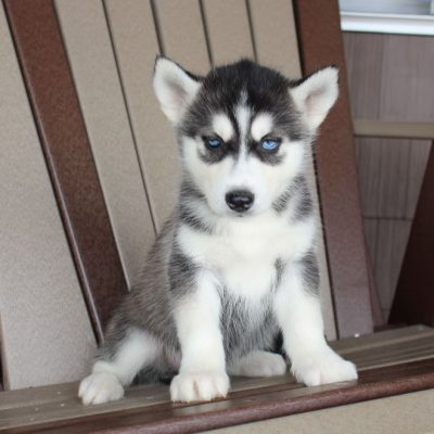 Sparkel - AKC Siberian Husky male pup for sale at Spencerville, Indiana