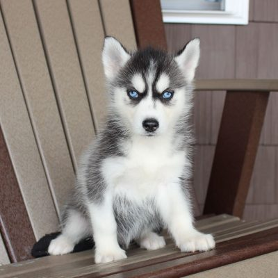 Dora - AKC Siberian Husky female puppie for sale in Spencerville, Indiana