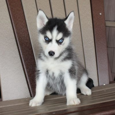 Nancy - AKC Siberian Husky female doggie for sale at Spencerville, Indiana