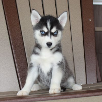 Donna - female AKC Siberian Husky puppy for sale near Spencerville, Indiana