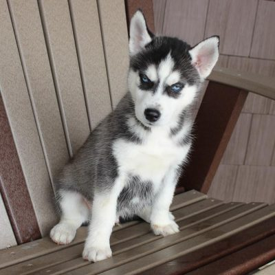 Korie - AKC Siberian Husky male pup for sale in Spencerville, Indiana