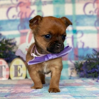 Yorkie Mix puppie for sale near Narvon, Pennsylvania