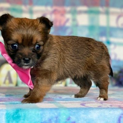 Babe - female Yorkie Mix pup for sale at Narvon, Pennsylvania