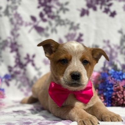 Kylie - puppy Cattle dog/Red/Blue heeler for sale near Peachbottom, Pennsylvania
