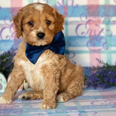 Theo - Cockapoo male doggie for sale