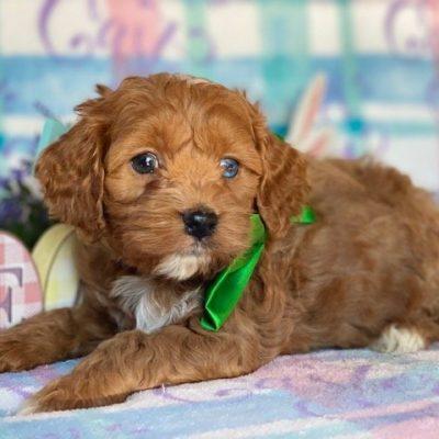 Felix - Cockapoo male puppy for sale