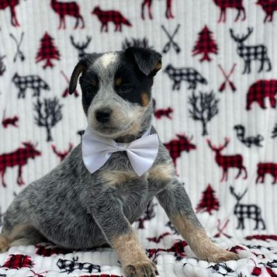 Aussie - Cattle dog/Red/Blue heeler puppy for sale at Peachbottom, Pennsylvania