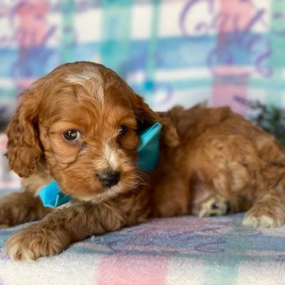 Nugget - male Cockapoo pup for sale