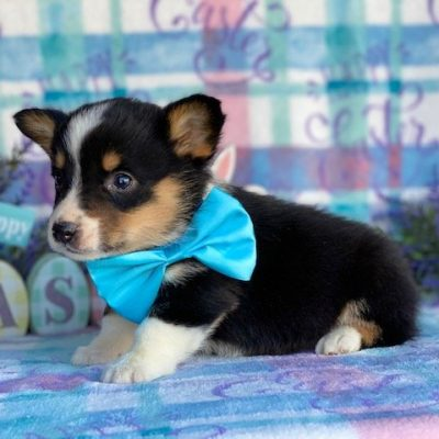 Fergus - Corgi male pup for sale near Pequea, Pennsylvania