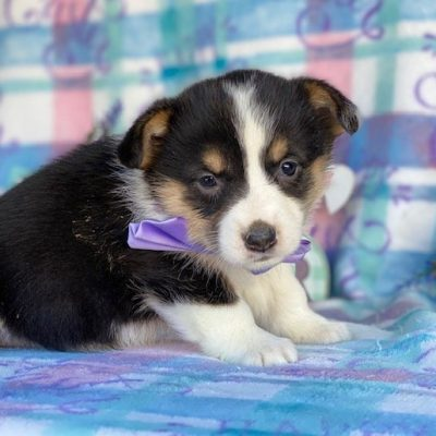Georgia - ACA Corgi female pup for sale in Pequea, Pennsylvania