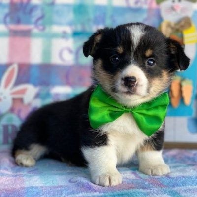 Chester - ACA Corgi male pupper for sale at Pequea, Pennsylvania