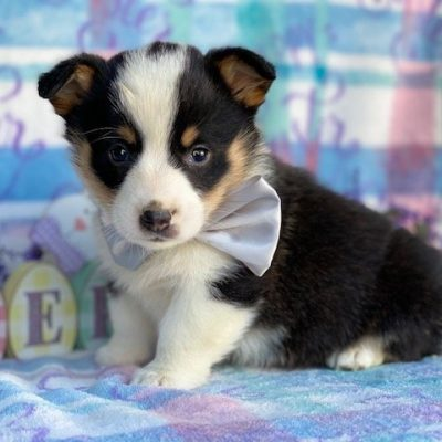 Leon - male ACA Corgi male puppie for sale near Pequea, Pennsylvania