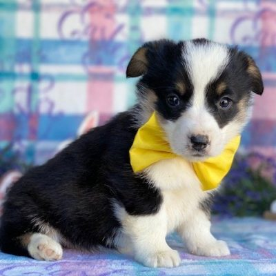 Blossom - ACA Corgi female doggie for sale near Pequea, Pennsylvania