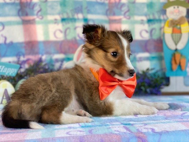 Dawson - ACA Shetland Sheepdog pupper for sale in Airville, Pennsylvania