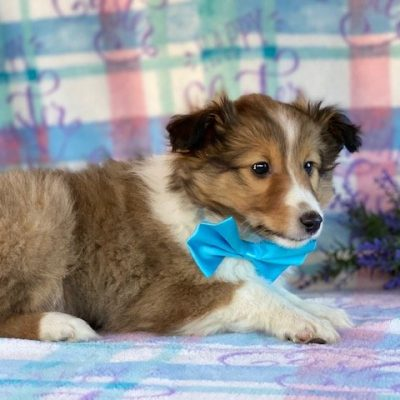 Chaser - puppie ACA Shetland Sheepdog for sale at Airville, Pennsylvania
