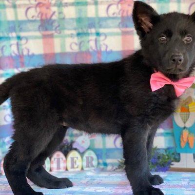 Lucille - German Shepherd female puppie for sale near Airville, Pennsylvania