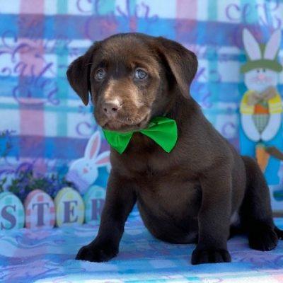 Cocoa - pup Labrador Retriever for sale in Delta, Pennsylvania