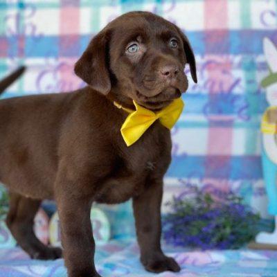 Brandy - Labrador Retriever puppy for sale near Delta, Pennsylvania
