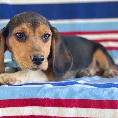 Gizmo - male Beagle doggie for sale near Pennsylvania