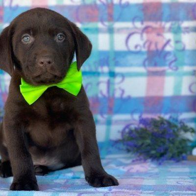 Hershey - Labrador Retriever doggie for sale at Delta, Pennsylvania