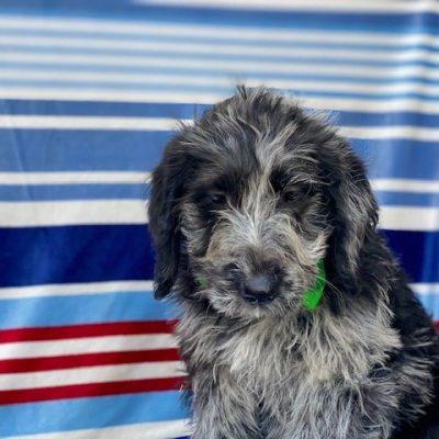 Cobalt - Labradoodle male doggie for sale near Kinzer, Pennsylvania