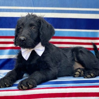 Berkely - Labradoodle pup for sale in Kinzer, Pennsylvania