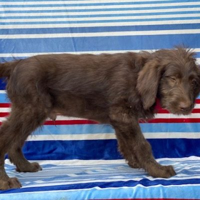 Chocco - Labradoodle puppy for sale at Kinzer, Pennsylvania