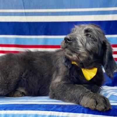 Smokey - Labradoodle male doggie for sale at Kinzer, Pennsylvania