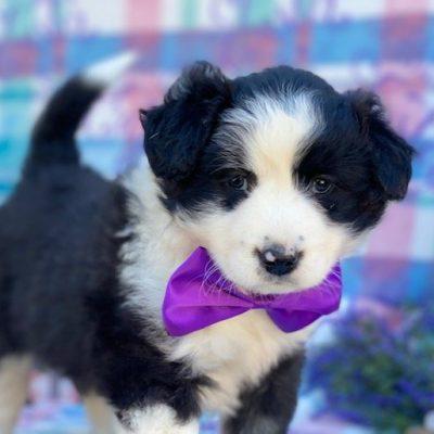 Cookie - pup