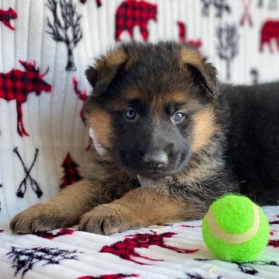 Lucky - male AKC German Shepherd pupper for sale near Honeybrook, Pennsylvania