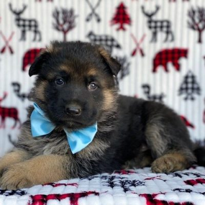 Cody - AKC German Shepherd male puppie for sale near Honeybrook, Pennsylvania