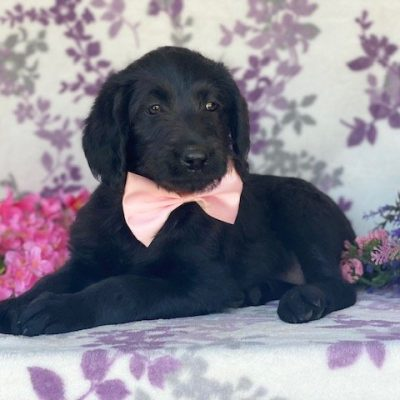 Raven - Labradoodle pupper for sale in Kinzer, Pennsylvania