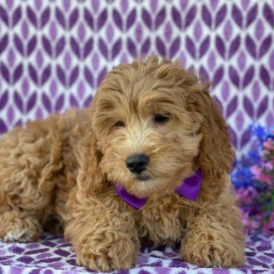 Ruby - Mini Goldendoodle male puppie for sale in Peachbottom, Pennsylvania