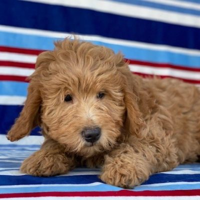 Cooper - Mini Goldendoodle male puppie for sale in Peachbottom, Pennsylvania