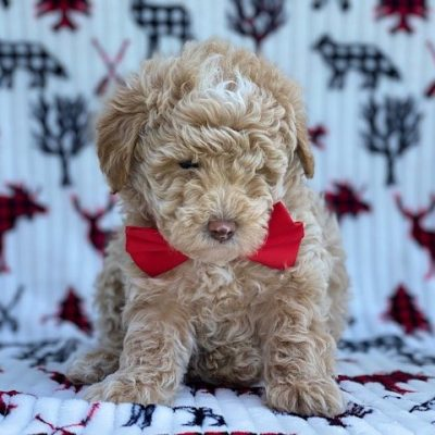 Romeo -male Poodle pup for sale in Lincoln University, Pennsylvania