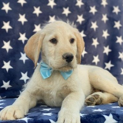 Scamp - male Labradoodle doggie for sale at Pennsylvania