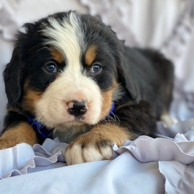 Moose - puppy AKC Bernese Mountain for sale at Peachbottom, Pennsylvania
