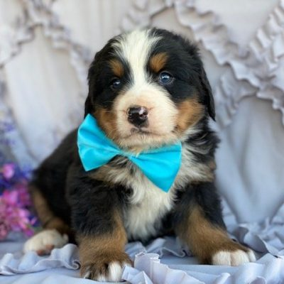 Cesear - AKC Bernese Mountain Dog pup for sale at Peachbottom, Pennsylvania