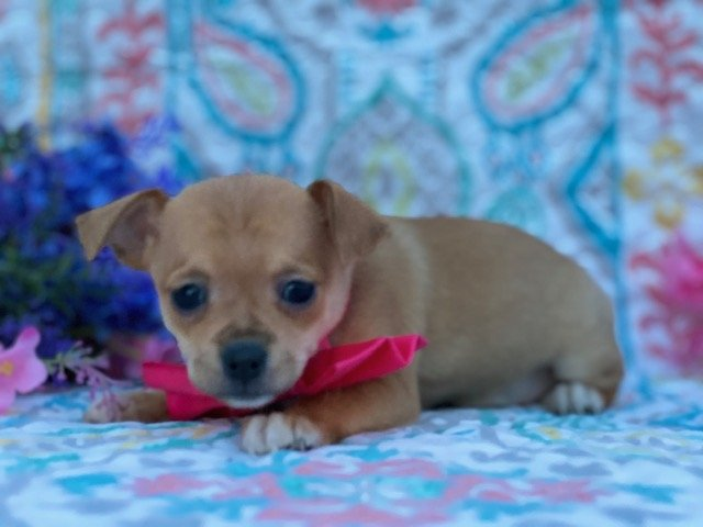 Chihuaha - puppy for sale in Delta, Pennsylvania