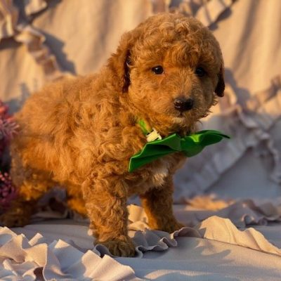 Orson - puppy Miniature Poodle for sale near Rising Sun, Maryland