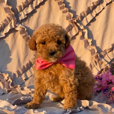 Bubbles - Miniature Poodle pup for sale in Rising Sun, Maryland